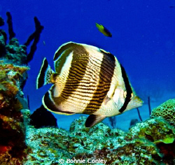Banded Butterflyfish seen in Grand Bahamas.  Photo taken ... by Bonnie Conley 